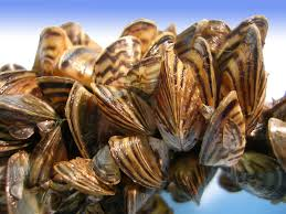 Image result for zebra mussels