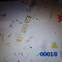 Marine Diatoms