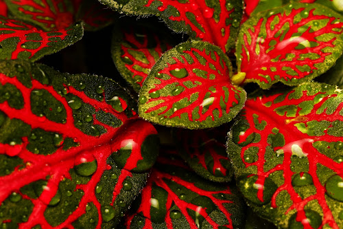 Fittonia verschaffeltii by Juliusz Wilczynski - Nature Up Close Natural Waterdrops ( macro )