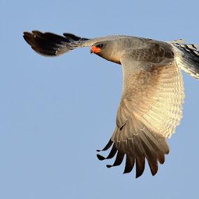 Goshawk by Bostjan Pulko - Animals Birds