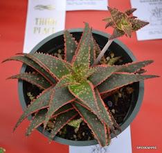 Photo: Aloe 'Christmas Carol'