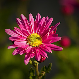 by Miroslava Winklerová - Flowers Single Flower