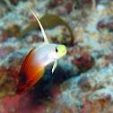 Fire Dartfish/ Fire Goby