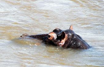 Photo: Все бегемоты получились только в пол-лица