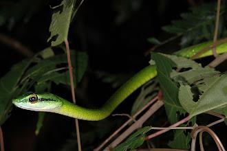 Photo: 24 Leptophis ahaetuella, Corcovado (08°27´/-83°29´), 25.06.2008, Author & det. Erwin Holzer