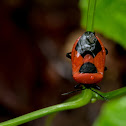 Red pumpkin stink bug