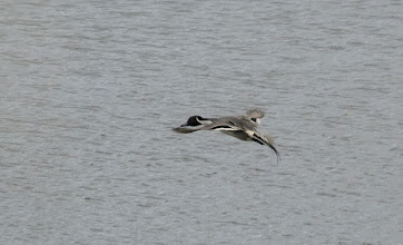 Photo: Pintail in flight Nikon D80