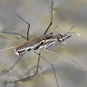 Common water strider (mating)