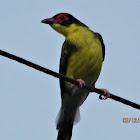 Australian Fig Bird