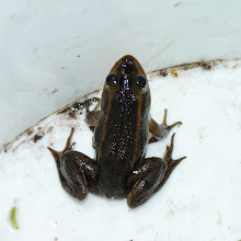 Photo: Carpenter Frog