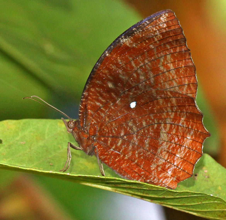 Common Palmfly Male