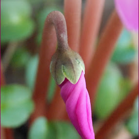 Budjenje ranog proleća / Early Spring Awakening by Jasminka Nadaskic Djordjevic - Nature Up Close Other plants ( cyclamen, tenderness, bud, spring, flower )