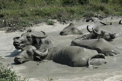 Wasserbüffel baden in einem Schlammloch.
