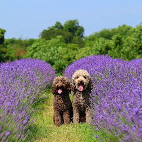 Belle & Ace in the lavender fields by David Morrison - Animals - Dogs Portraits ( dogs, labradoodle, lavender fields,  )