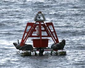 Photo: Hylkeitä lepäämässä merimerkillä