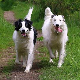 Synchronisation! by Chrissie Barrow - Animals - Dogs Running ( dogs, grass, green, lurchers, pet, white, path, fur, running, black, portrait,  )