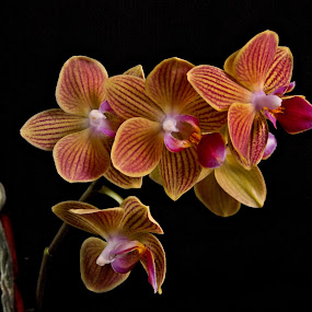 Orchid by Tim Davies - Flowers Flower Gardens ( orange, timothy a davies, t a davies photography, art photography, t a davies photographer, photography, tadavies, tim davies, portrait photography, orchid, delicate, southern california photgrapher, photographer, so cal, flower,  )