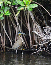Photo: Bare-throated Tiger-Heron; La Tovara boat ride