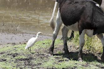 Photo: Cattle Egret (Kuhreiher); San Miguel de Allende , GTO