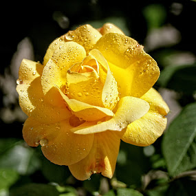 BA rose 48 by Michael Moore - Flowers Single Flower (  )