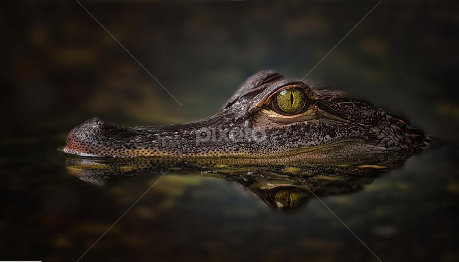 Alligator by Michael Milfeit - Animals Reptiles ( mississippi-alligator, crocodile, alligator mississippiensis, hechtalligator, reptil, panzerechse,  )