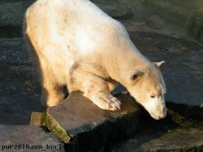 Photo: Hm, den Wassergraben findet Knut dann doch interessant...