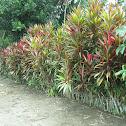Decorative Hedge Plants
