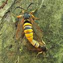Lunar Hornet Moth