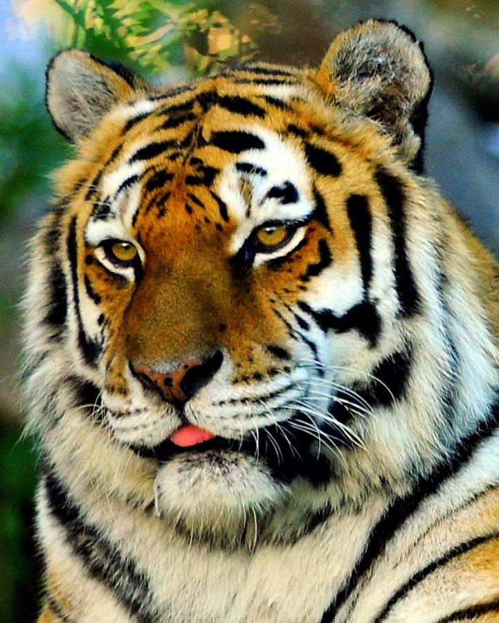 by Ralph Harvey - Animals Lions, Tigers & Big Cats ( wildlife )