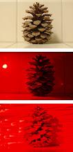Photo: Christmas lights on pine trees