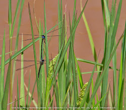 Photo: Great Spreadwing Damselflies in tandem in the grass alongside an irrigation ditch south of my house. The reddish brown color is the muddy water as the ditch level was about a meter below my feet. Spreadwings are among the few damselflies to hold their wings outstretched instead of along their abdomens.  #GrassTuesday curated by +Ray Bilcliff+Marilou Aballe+Margaret Tompkins #odonatapoker curated by +viviane godenne #odonata  #twt