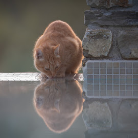 Mario the poolcat  by Ruud Lauritsen - Animals - Cats Playing ( catdrinking, cat, pool, poolcat, mirrorimage )