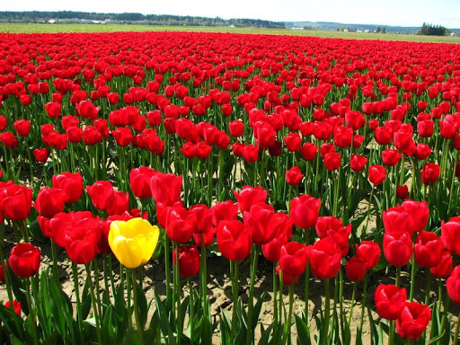 Tulips Wallpapers HD FREE