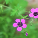 Black-eyed geranium