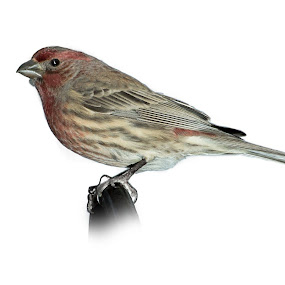 House Finch 2 by Irv Freedman - Animals Birds ( animals, nature, finch, feathers, birds )