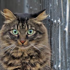 .... susjedov , ostao iznenađen, jer sam mu tepala .... by Katica Pecigoš-Kljuković - Animals - Cats Portraits