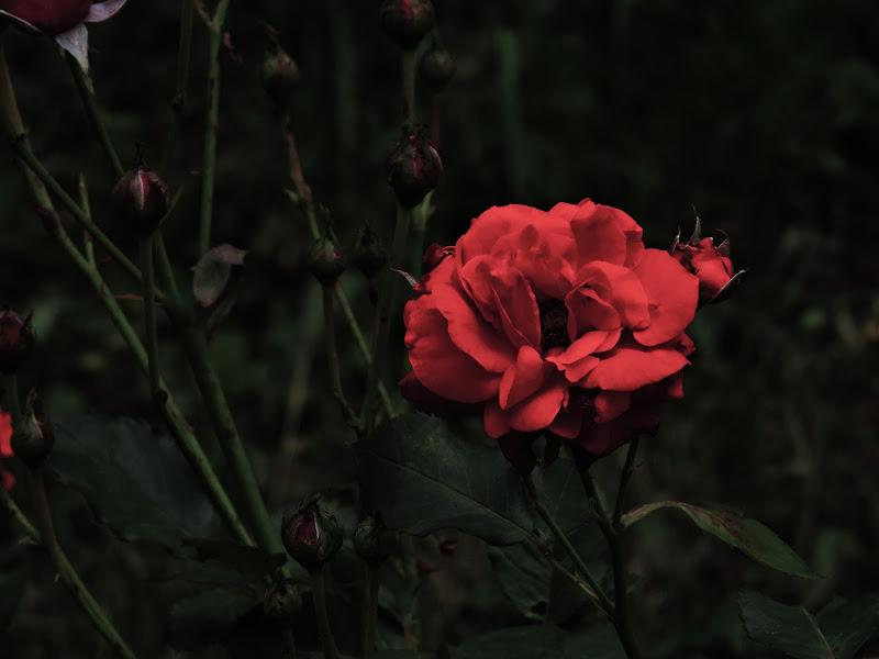 The delicacy of love for the rose! di ClaudiuGFeru