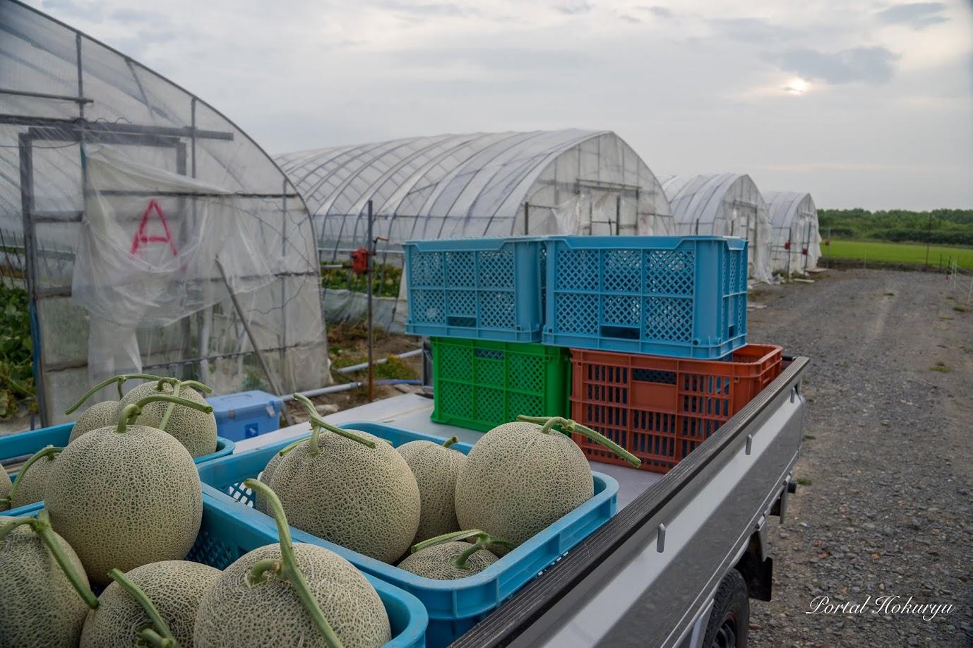 早朝のメロン収穫(7月26日(金)05:24)