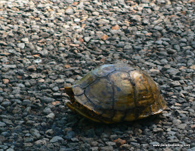Photo: Turtle (sp?) in the road at Anahuac National Wildlife Refuge, East Texas