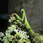 European mantis (male)