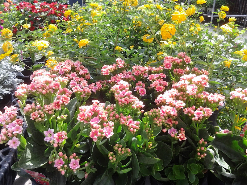 Photo: Now these pink and mauve Kalanchoe would look perfect outside my front door.