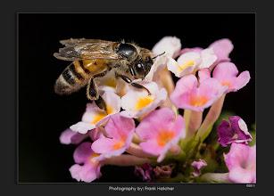 Photo: Honey Bee in Glendale Arizona