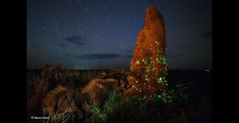 miereneter staat met één poot tegen mierennest bij nacht