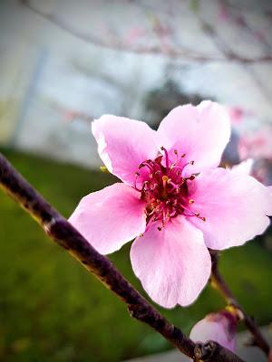 Primi fiori di steconte