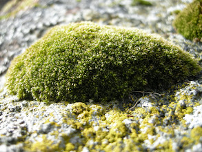 Photo: Bryum elegans