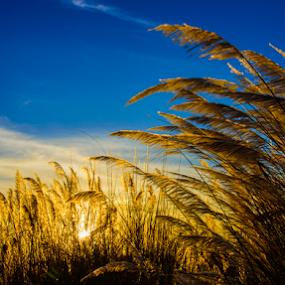 Beautiful nature by Mahul Mukherjee - Landscapes Sunsets & Sunrises ( blue sky, nature, sunset, low angle, catkin, landscape )
