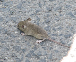 Photo: Day 68 - A Baby Mouse Crossing the Road!