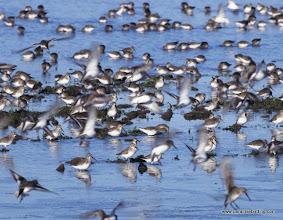 Photo: Dunlin swarm, Samish flats, Washington