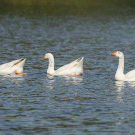 Duck by Fabienne Lawrence - Uncategorized All Uncategorized ( feather, duck, bird, duckling, water, lake )