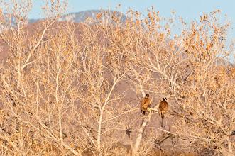 Photo: Two bald eagle juveniles in cottonwood tree; Bosque del Apache